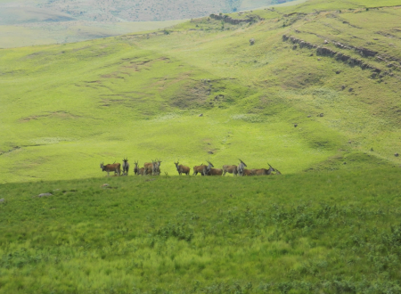 The Eland-scape of the Drakensberg
